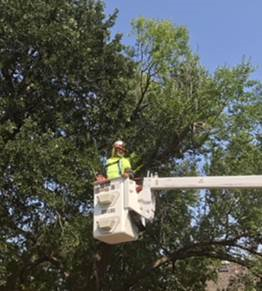 Grounds worker trims trees