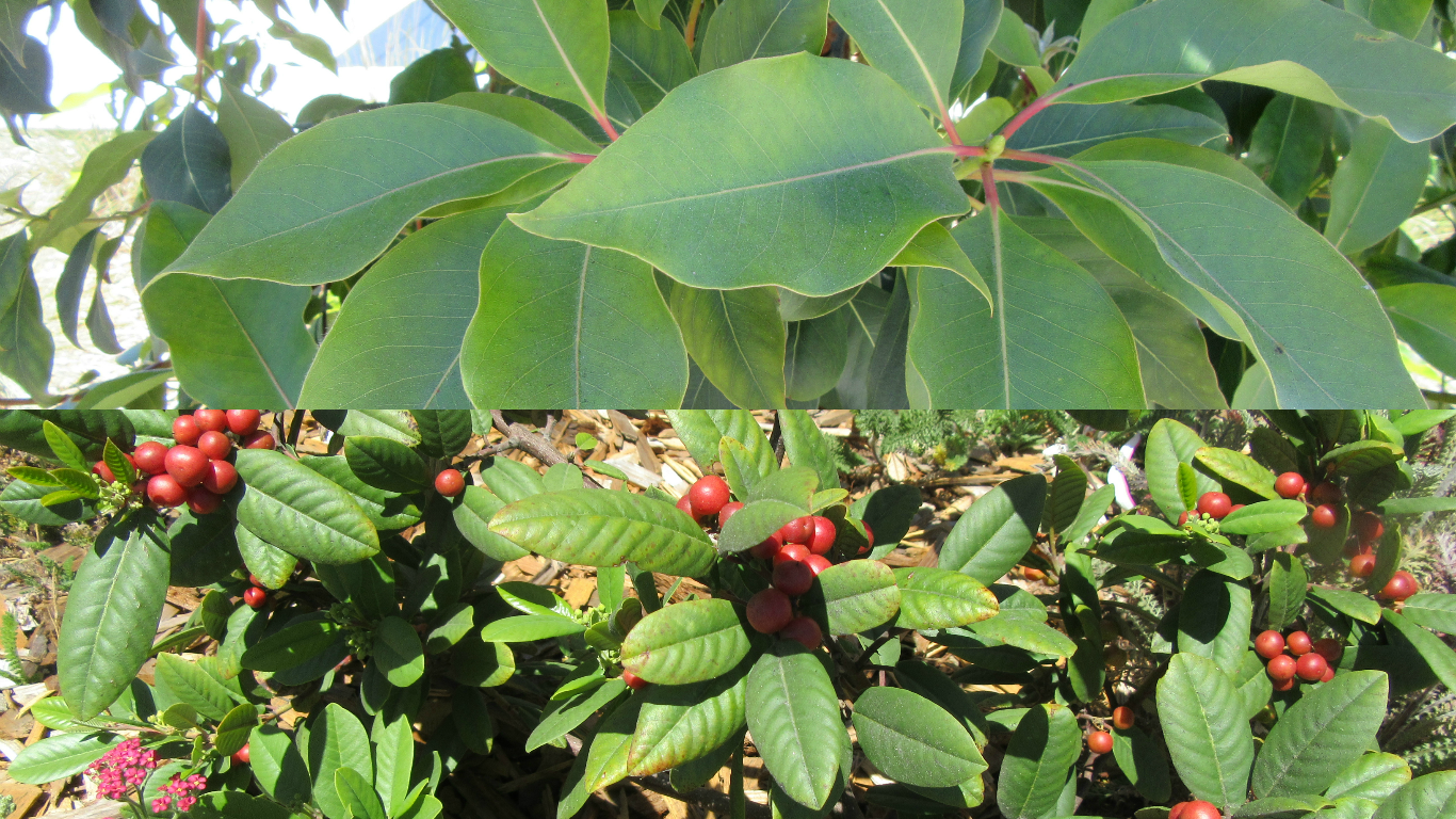 Native Brisbane box tree and coffee berry plants
